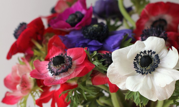 Mix of anemone colors