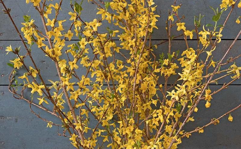 Yellow forsythia branches