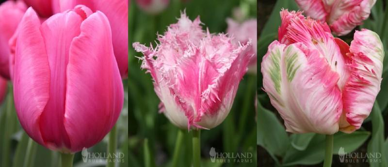 Standard tulip, fringed tulip, parrot tulip