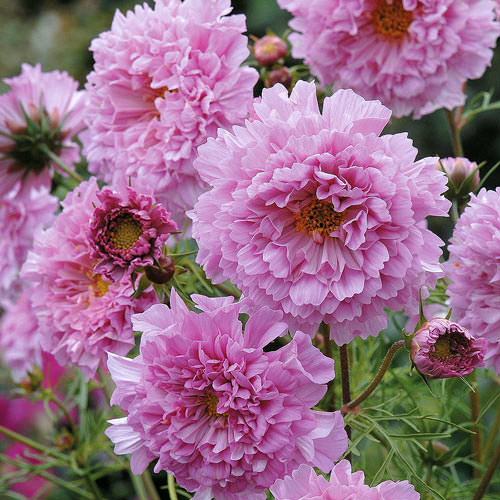 Pink Double Click Cosmos