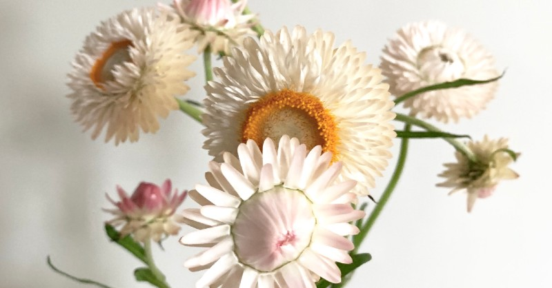 Blush Strawflower